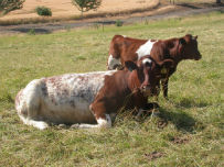 """Snowbell"" with her bull calf"